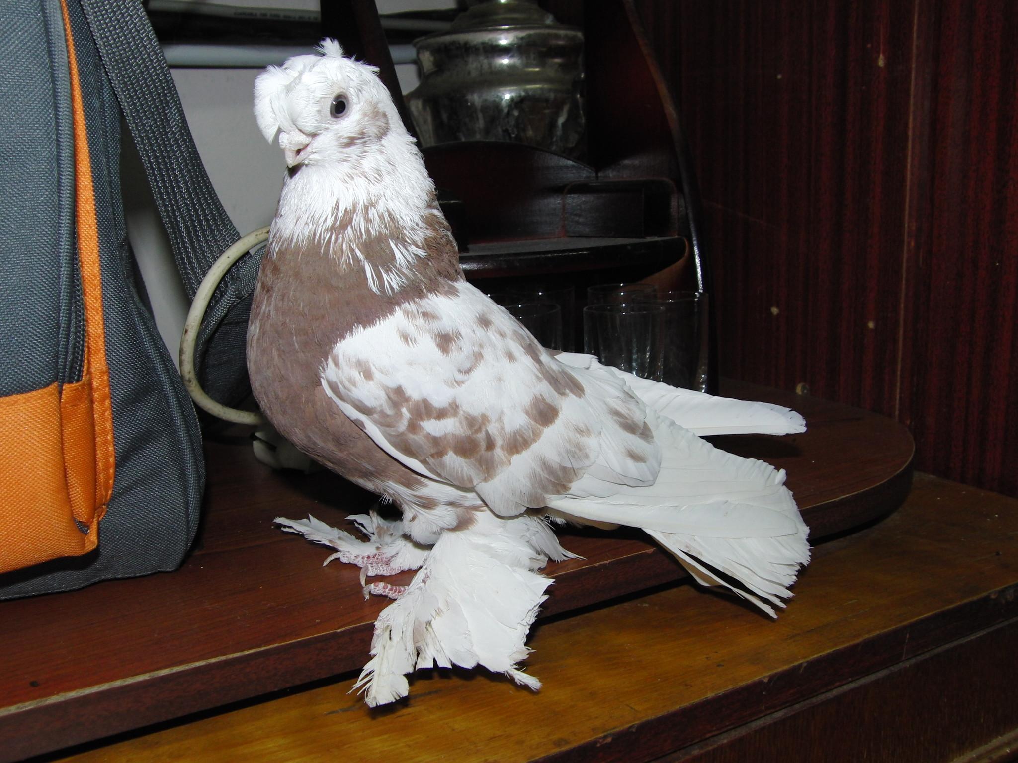 узбекские голуби фото с названиями приготовить трюфельные
