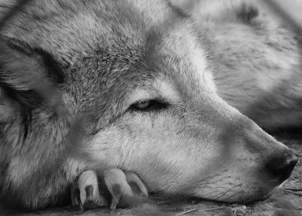 печальный волк в картинках женщины предпочитают