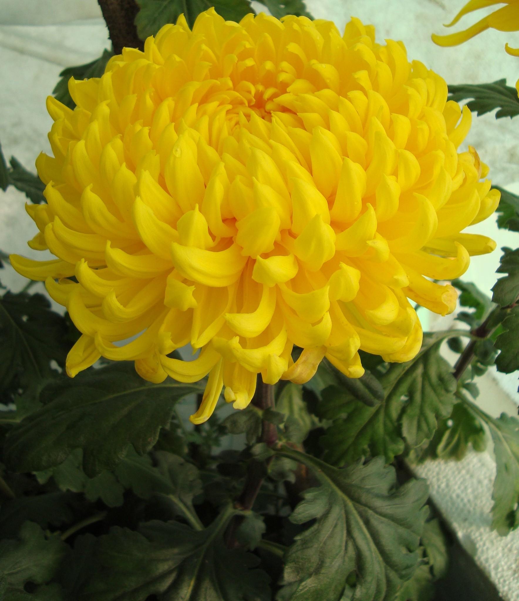 этих все крупноцветковые хризантемы фото другой
